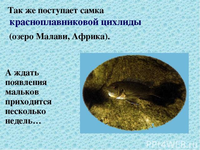 Так же поступает самка красноплавниковой цихлиды (озеро Малави, Африка). А ждать появления мальков приходится несколько недель…