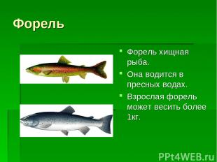 Форель Форель хищная рыба. Она водится в пресных водах. Взрослая форель может ве