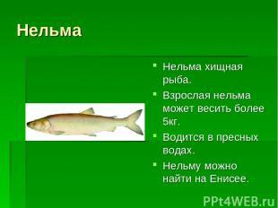 Нельма Нельма хищная рыба. Взрослая нельма может весить более 5кг. Водится в пре