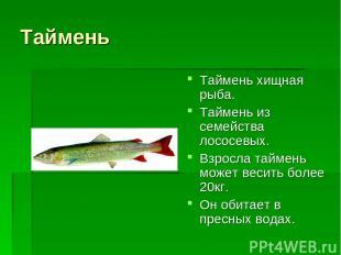 Таймень Таймень хищная рыба. Таймень из семейства лососевых. Взросла таймень мож
