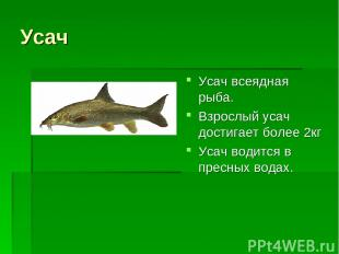 Усач Усач всеядная рыба. Взрослый усач достигает более 2кг Усач водится в пресны