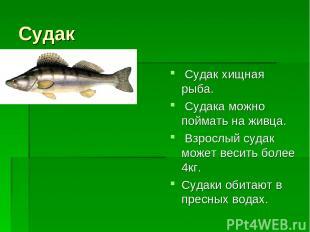 Судак Судак хищная рыба. Судака можно поймать на живца. Взрослый судак может вес