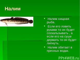 Налим Налим хищная рыба. Если его ловить руками то он будет соскальзывать , а ес