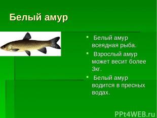 Белый амур Белый амур всеядная рыба. Взрослый амур может весит более 3кг. Белый