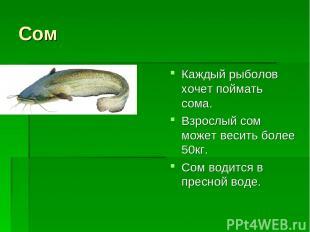 Сом Каждый рыболов хочет поймать сома. Взрослый сом может весить более 50кг. Сом
