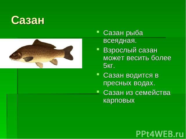 Сазан Сазан рыба всеядная. Взрослый сазан может весить более 5кг. Сазан водится в пресных водах. Сазан из семейства карповых