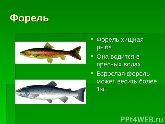 Форель Форель хищная рыба. Она водится в пресных водах. Взрослая форель может весить более 1кг.