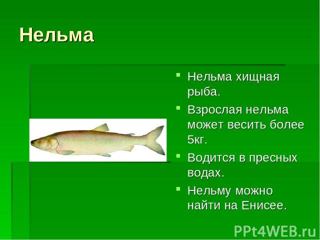 Нельма Нельма хищная рыба. Взрослая нельма может весить более 5кг. Водится в пресных водах. Нельму можно найти на Енисее.