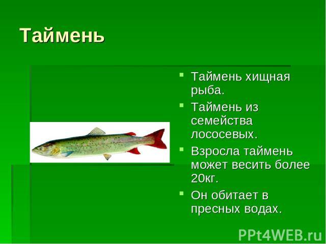 Таймень Таймень хищная рыба. Таймень из семейства лососевых. Взросла таймень может весить более 20кг. Он обитает в пресных водах.