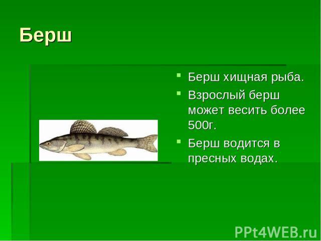 Берш Берш хищная рыба. Взрослый берш может весить более 500г. Берш водится в пресных водах.