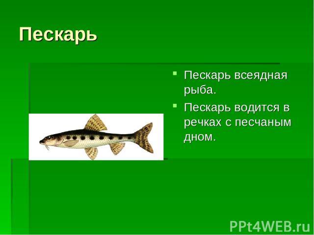 Пескарь Пескарь всеядная рыба. Пескарь водится в речках с песчаным дном.