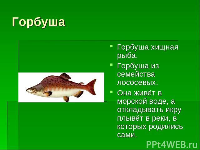 Горбуша Горбуша хищная рыба. Горбуша из семейства лососевых. Она живёт в морской воде, а откладывать икру плывёт в реки, в которых родились сами.