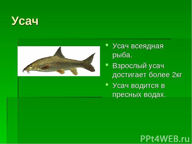 Усач Усач всеядная рыба. Взрослый усач достигает более 2кг Усач водится в пресных водах.