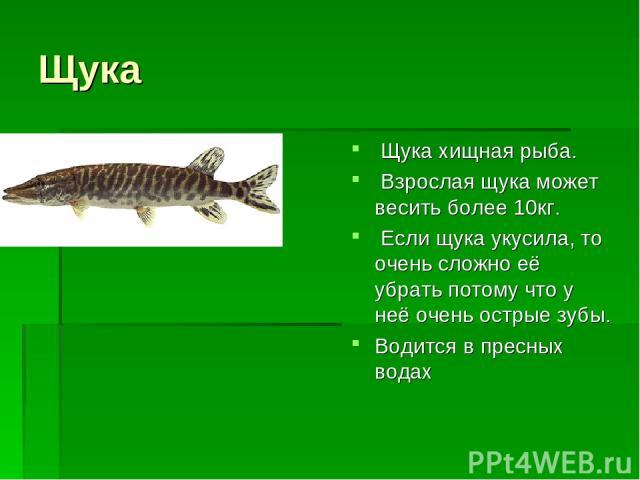 Щука Щука хищная рыба. Взрослая щука может весить более 10кг. Если щука укусила, то очень сложно её убрать потому что у неё очень острые зубы. Водится в пресных водах