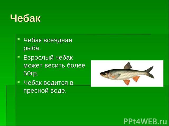 Чебак Чебак всеядная рыба. Взрослый чебак может весить более 50гр. Чебак водится в пресной воде.