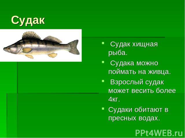 Судак Судак хищная рыба. Судака можно поймать на живца. Взрослый судак может весить более 4кг. Судаки обитают в пресных водах.