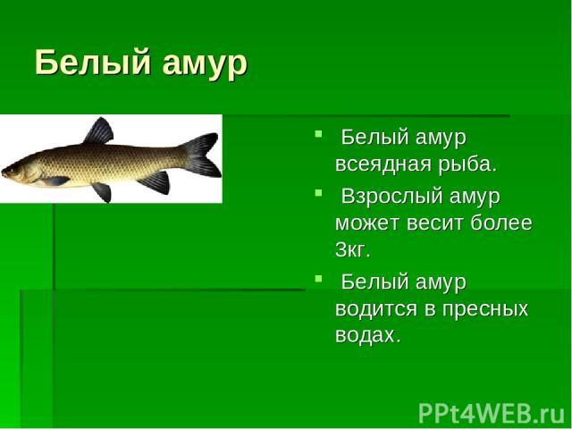 Белый амур Белый амур всеядная рыба. Взрослый амур может весит более 3кг. Белый амур водится в пресных водах.