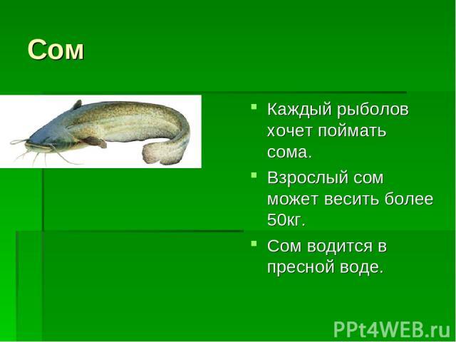 Сом Каждый рыболов хочет поймать сома. Взрослый сом может весить более 50кг. Сом водится в пресной воде.