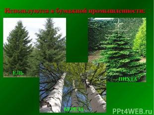 Используются в бумажной промышленности: ЕЛЬ ПИХТА БЕРЕЗА