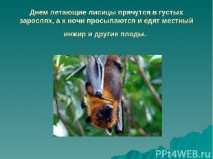 Днем летающие лисицы прячутся в густых зарослях, а к ночи просыпаются и едят мес