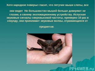 Хотя народное поверье гласит, что летучие мыши слепы, все они видят Но большинст