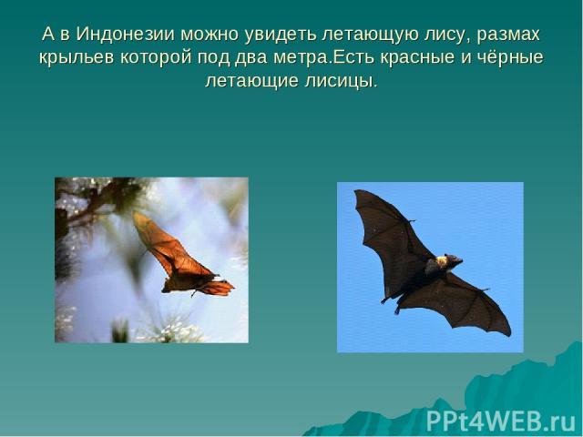 А в Индонезии можно увидеть летающую лису, размах крыльев которой под два метра.Есть красные и чёрные летающие лисицы.