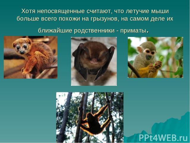 Хотя непосвященные считают, что летучие мыши больше всего похожи на грызунов, на самом деле их ближайшие родственники - приматы.
