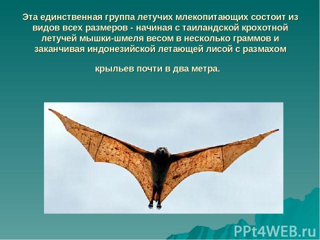 Эта единственная группа летучих млекопитающих состоит из видов всех размеров - начиная с таиландской крохотной летучей мышки-шмеля весом в несколько граммов и заканчивая индонезийской летающей лисой с размахом крыльев почти в два метра.