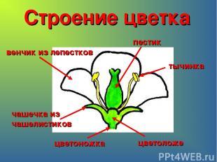 Строение цветка цветоножка цветоложе чашечка из чашелистиков венчик из лепестков