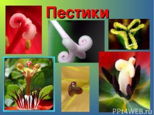 Пестики