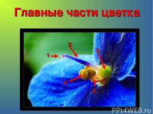 Главные части цветка 1 2 3 4 5