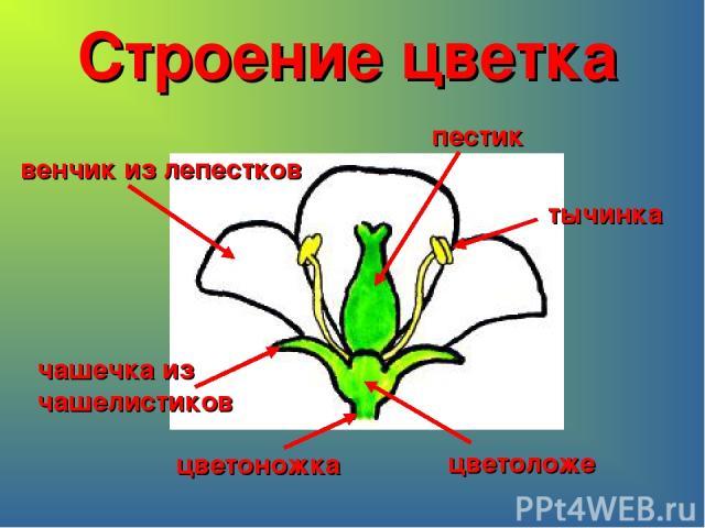 Строение цветка цветоножка цветоложе чашечка из чашелистиков венчик из лепестков пестик тычинка
