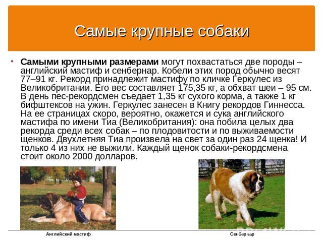 Самые крупные собаки Самыми крупными размерами могут похвастаться две породы – английский мастиф и сенбернар. Кобели этих пород обычно весят 77–91 кг. Рекорд принадлежит мастифу по кличке Геркулес из Великобритании. Его вес составляет 175,35 кг, а о…