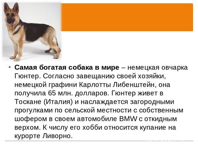 Самая богатая собака в мире – немецкая овчарка Гюнтер. Согласно завещанию своей хозяйки, немецкой графини Карлотты Либенштейн, она получила 65 млн. долларов. Гюнтер живет в Тоскане (Италия) и наслаждается загородными прогулками по сельской местности…