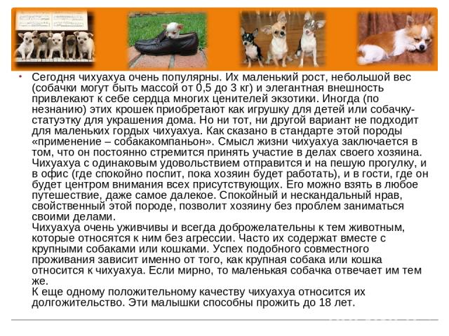 Сегодня чихуахуа очень популярны. Их маленький рост, небольшой вес (собачки могут быть массой от 0,5 до 3 кг) и элегантная внешность привлекают к себе сердца многих ценителей экзотики. Иногда (по незнанию) этих крошек приобретают как игрушку для дет…