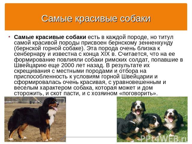 Самые красивые собаки Самые красивые собаки есть в каждой породе, но титул самой красивой породы присвоен бернскому зенненхунду (бернской горной собаке). Эта порода очень близка к сенбернару и известна с конца XIX в. Считается, что на ее формировани…