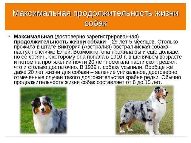 Максимальная продолжительность жизни собак Максимальная (достоверно зарегистрированная) продолжительность жизни собаки – 29 лет 5 месяцев. Столько прожила в штате Виктория (Австралия) австралийская собака-пастух по кличке Блюй. Возможно, она прожила…