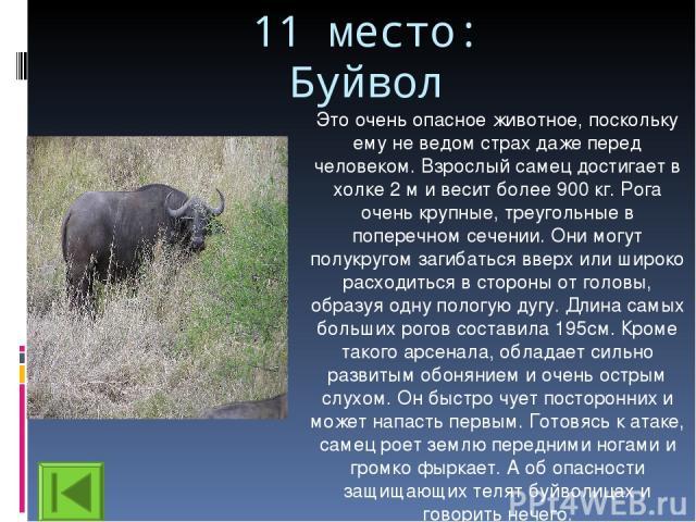 11 место: Буйвол Это очень опасное животное, поскольку ему не ведом страх даже перед человеком. Взрослый самец достигает в холке 2 м и весит более 900 кг. Рога очень крупные, треугольные в поперечном сечении. Они могут полукругом загибаться вверх ил…