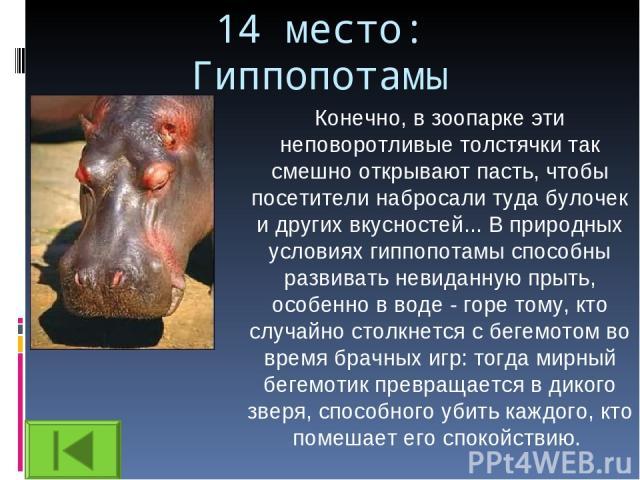 14 место: Гиппопотамы Конечно, в зоопарке эти неповоротливые толстячки так смешно открывают пасть, чтобы посетители набросали туда булочек и других вкусностей... В природных условиях гиппопотамы способны развивать невиданную прыть, особенно в воде -…