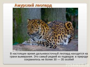 Амурский леопард В настоящее время дальневосточный леопард находится на грани вы