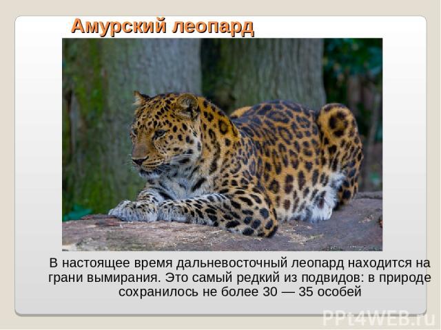Амурский леопард В настоящее время дальневосточный леопард находится на грани вымирания. Это самый редкий из подвидов: в природе сохранилось не более 30 — 35 особей