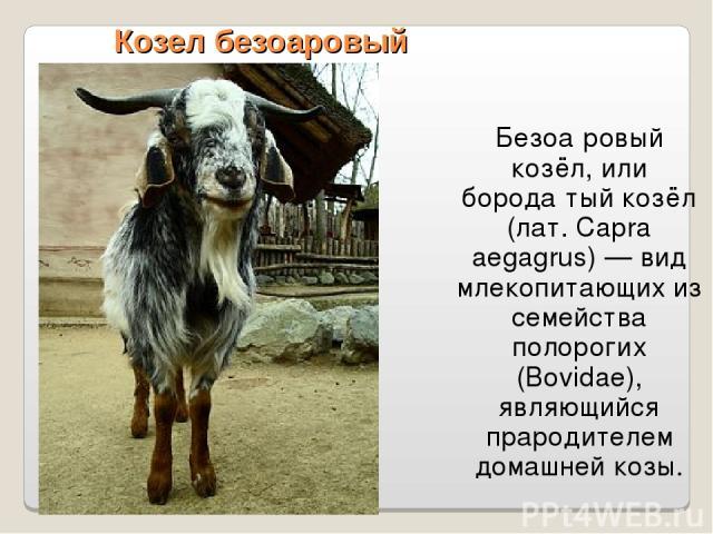 Козел безоаровый Безоа ровый козёл, или борода тый козёл (лат. Capra aegagrus) — вид млекопитающих из семейства полорогих (Bovidae), являющийся прародителем домашней козы.
