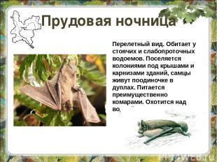Прудовая ночница Перелетный вид. Обитает у стоячих и слабопроточных водоемов. По
