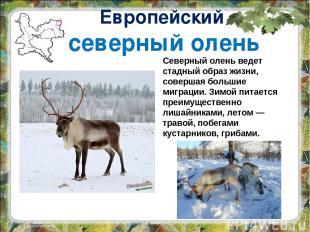Европейский северный олень Северный олень ведет стадный образ жизни, совершая бо