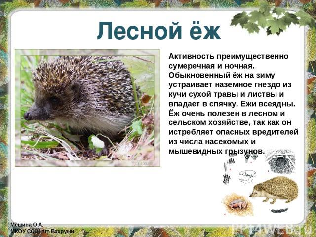Лесной ёж Активность преимущественно сумеречная и ночная. Обыкновенный ёж на зиму устраивает наземное гнездо из кучи сухой травы и листвы и впадает в спячку. Ежи всеядны. Ёж очень полезен в лесном и сельском хозяйстве, так как он истребляет опасных …