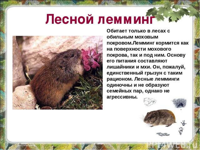 Лесной лемминг Обитает только в лесах с обильным моховым покровом.Лемминг кормится как на поверхности мохового покрова, так и под ним. Основу его питания составляют лишайники и мхи. Он, пожалуй, единственный грызун с таким рационом. Лесные лемминги …