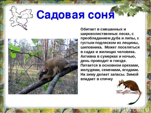 Садовая соня Обитает в смешанных и широколиственных лесах, с преобладанием дуба и липы, с густым подлеском из лещины, шиповника. Может поселяться в садах и жилищах человека. Активна в сумерках и ночью, день проводит в гнезде. Питается в основном оре…