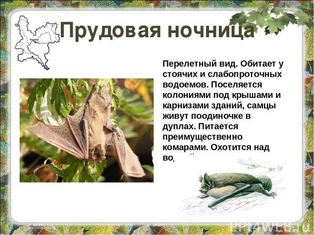 Прудовая ночница Перелетный вид. Обитает у стоячих и слабопроточных водоемов. Поселяется колониями под крышами и карнизами зданий, самцы живут поодиночке в дуплах. Питается преимущественно комарами. Охотится над водной поверхностью.
