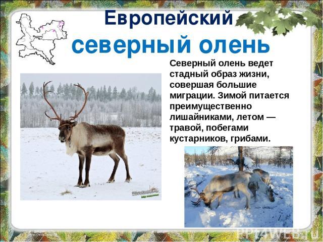 Европейский северный олень Северный олень ведет стадный образ жизни, совершая большие миграции. Зимой питается преимущественно лишайниками, летом — травой, побегами кустарников, грибами.