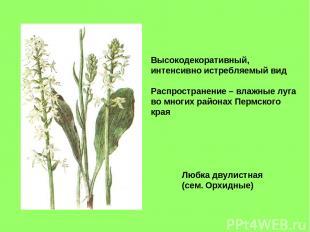 Любка двулистная (сем. Орхидные) Высокодекоративный, интенсивно истребляемый вид